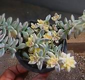 베라하긴스군생 725-938 Graptopetalum Mirinae