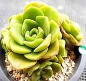 릴리패드|Aeonium LilyPad