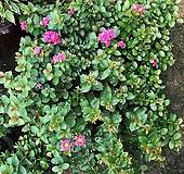 [희희낙락플라워]목백일홍(배롱나무) 중품/부처꽃과/노지월동가능 |