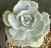 릴리시나금|Echeveria lilacina