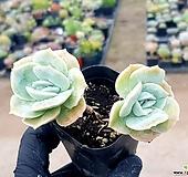러블리로즈변이(얼큰이) 67-83|Echeveria Lovely Rose