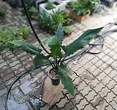 알로카시아 로테바키아나 대품70~110cm 89|
