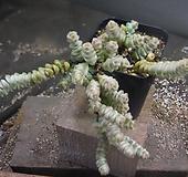 루페스트리금 727-103|Crassula perforata