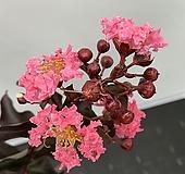 자엽백일홍 핑크벨로#4|