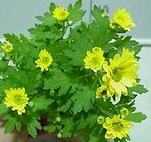가을국화-소국-옐로우-꽃핀가지 자르면 계속 꽃대올라옴니다.|