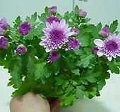 가을국화-소국-핑크-꽃핀가지 자르면 계속 꽃대올라옴니다.|