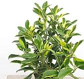 무늬워터자스민 쟈스민 향기나는 식물 
