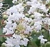 백일홍(흰색)|