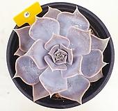 릴리시나40|Echeveria lilacina