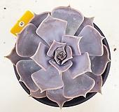 릴리시나42|Echeveria lilacina