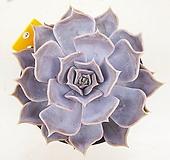 릴리시나43|Echeveria lilacina