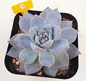 파랑새33 Echeveria Blue bird