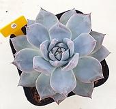 파랑새36 Echeveria Blue bird