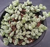 원종벽어연-1401|Corpuscularia lehmanni