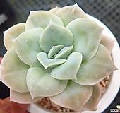 러블리로즈0727|Echeveria Lovely Rose