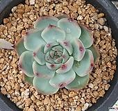 치와와 25번 / 한바우다육농원, 다육이, 다육식물 Echeveria chihuahuaensis