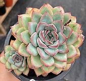 황홀한연꽃|Echeveria pulidonis