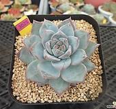 파랑새7-3025 Echeveria Blue bird
