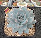 파랑새7-3027 Echeveria Blue bird
