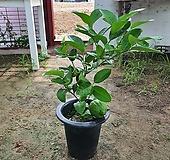 레몬나무 왕레몬나무 (열매류식물)한장판매1개|