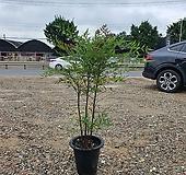 남천 (공기정화식물) 나무류 키약110|