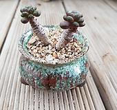홍포도묵은둥이(화분포함)|Graptoveria Ametum