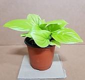 [NEW]형광스파트필름(S) 2020 새상품/공기정화 효과가 탁월한 식물|