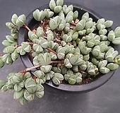 원종벽어연-1501|Corpuscularia lehmanni