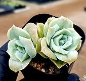 러블리로즈 12-439|Echeveria Lovely Rose