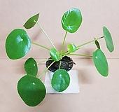 [T]필레아페페(S3) 2020 새상품/인테리어 공중식물/공기정화에 탁월한 고급 식물 