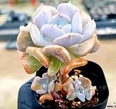 큐빅프로스티 68-143|Echeveria pulvinata Frosty