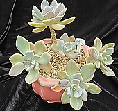 석연화금-77|Pachyveria Pachyphytodies