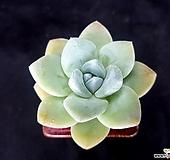 아이시그린(분채배송)|Echeveria Ice green