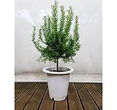 로즈마리(포트) 허브 인테리어 여름식물|