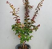 백일홍나무 / 동일품배송/ 높이 105 너비 50|