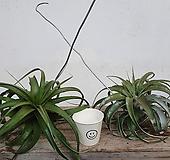 [동일품배송]세로그라피카 틸란 틸란드시아 공기정화식물 행잉플랜트 에어플랜트|