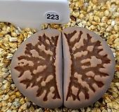 국화석 223|