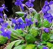 암동제비꽃(석부작) 