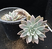 오팔리나 7-538|Graptoveria Opalina