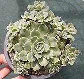 온슬로우 자연 15두|Echeveria cv Onslow