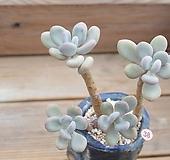 홍미인 묵은둥이(두몸)|Pachyphytum ovefeum cv. momobijin