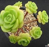 릴리패드 0731|Aeonium LilyPad