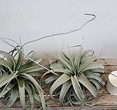 [동일품배송]세로그라피카 틸란드시아 틸란 공기정화식물 행잉플랜트 에어플랜트|