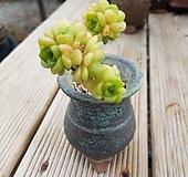 릴리패드완전묵은둥이(화분포함)|Aeonium LilyPad