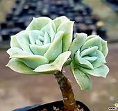 러블리로즈 14-271|Echeveria Lovely Rose