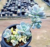 석연화금 14-280|Pachyveria Pachyphytodies