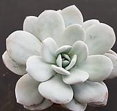 라우이중대품0351|Echeveria laui