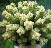 희성금0731-2 Crassula Rupestris variegata
