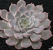 핑크자라고사-1701|Echeveria mexensis Zaragosa