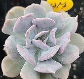 큐빅프로스티1353|Echeveria pulvinata Frosty
